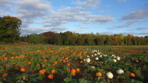 Our pumpkin field